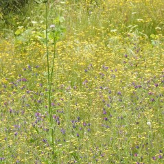 sea of yellow and purple in spring