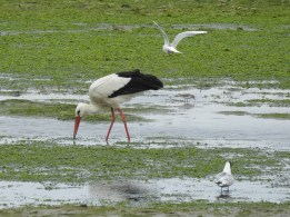 European White Stork & friends