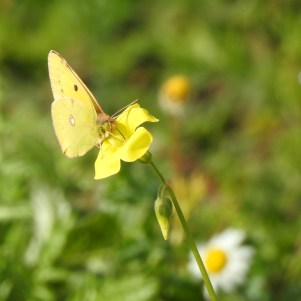 Bermuda Buttercup with friend