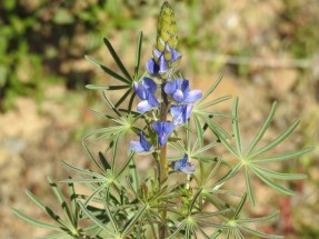 Narrow-leaved lupin