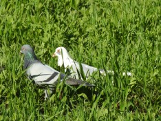 Pigeons in the lawn