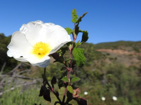 Cistus, a common sight in the hills