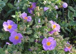Grey leaved rock rose