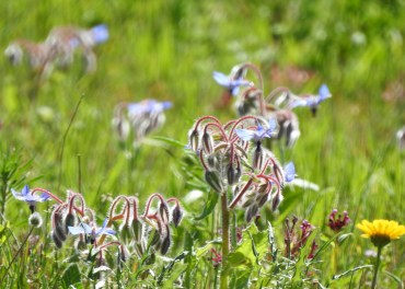 Borage in the spring