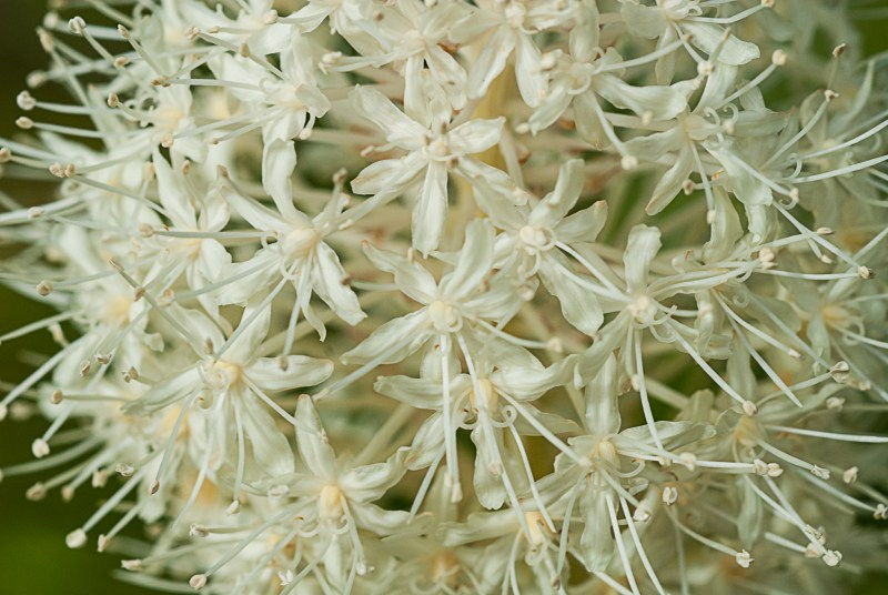 WEST GLACIER, MONT. – Beargrass (Xerophyllum tenax) is a common wildflower found in Glacier National Park and this year has produced prolific blossoms, especially near park headquarters on the west-side of the park.