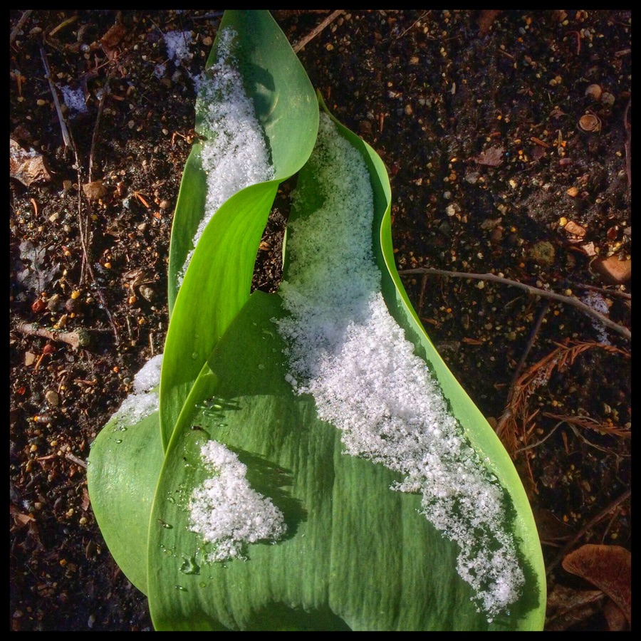 Hosta Leaf with Snow