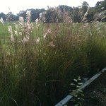 Grasses in Grow Bed at Nursery
