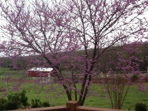 Redbud Tree at Becky's Flower Farm
