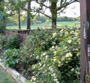 Lady Banks Yellow Rose