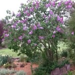 Lilac Bush - blooms on old wood