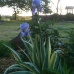 Variegated iris bloom