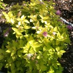 Golden spirea