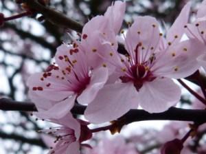 Purple Sandcherry Blossom