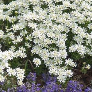 White Carpet Of Happiness Candytuft Beckys Flower Farm Nw