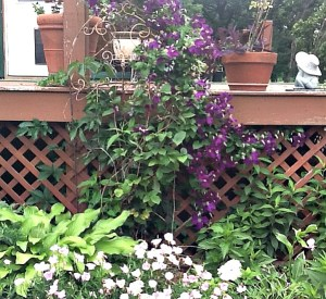 Clematis beckys flower farm nw arkansas clematis mightylinksfo