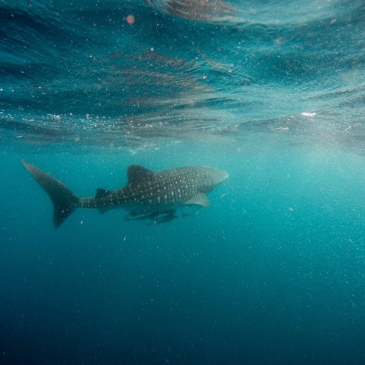 Donsol, Philippines: The Responsible Way To Swim With Whale Sharks