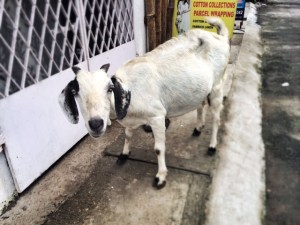 Miracle cures, cruel mockery and conversations with goats – today in Fort Cochin…