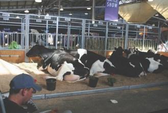 Big black & white moo cows