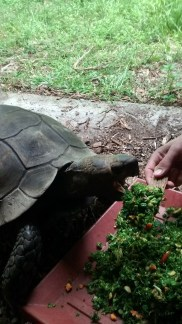 Feeding an elderly and visually-impaired Asian Forest Tortoise by hand.