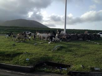 The local goat herd.