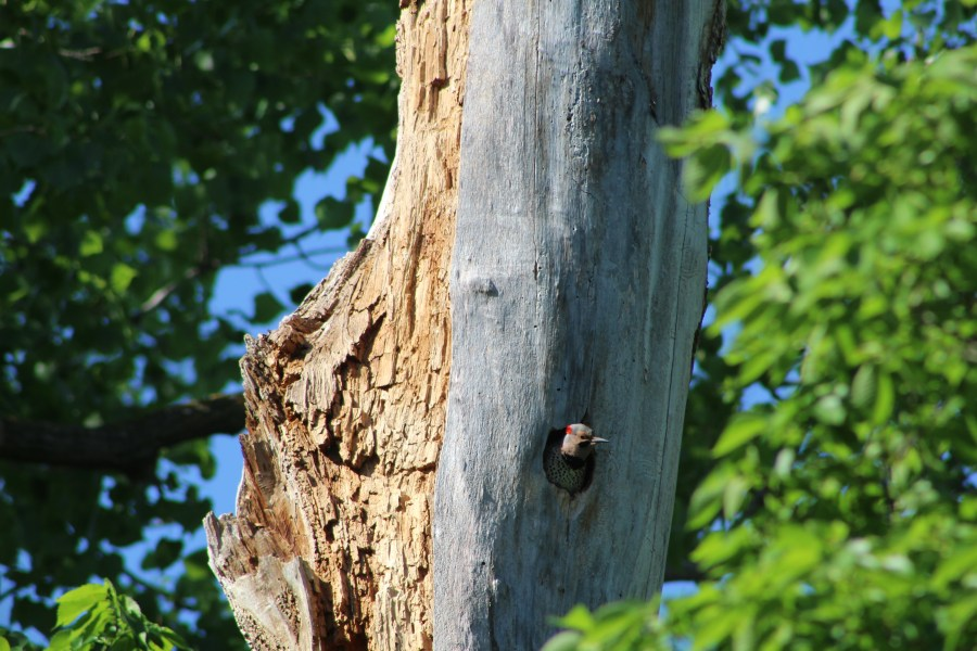 Northern flicker sticking its head out of a hole in a dead tree