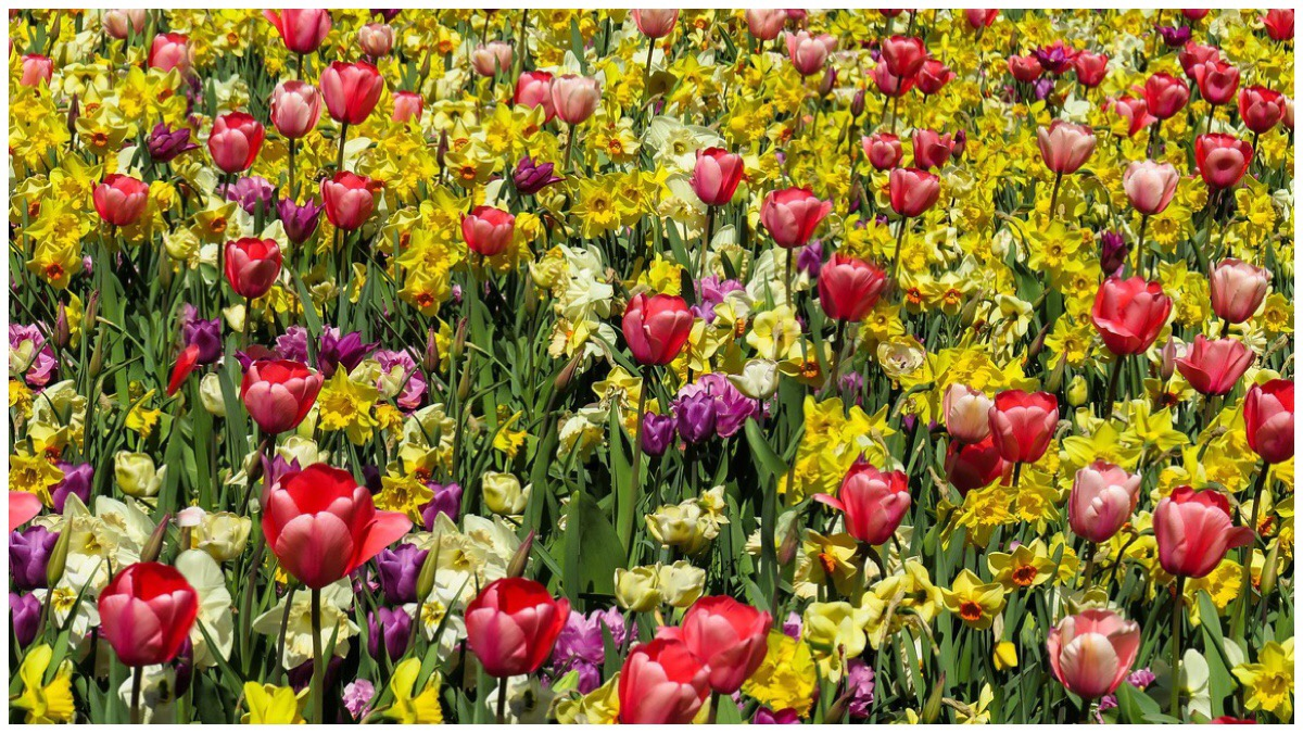 All the pretty flowers - multicoloured tulips and daffodils