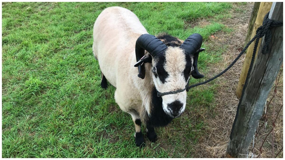 A badger face sheep at Sioe Mon
