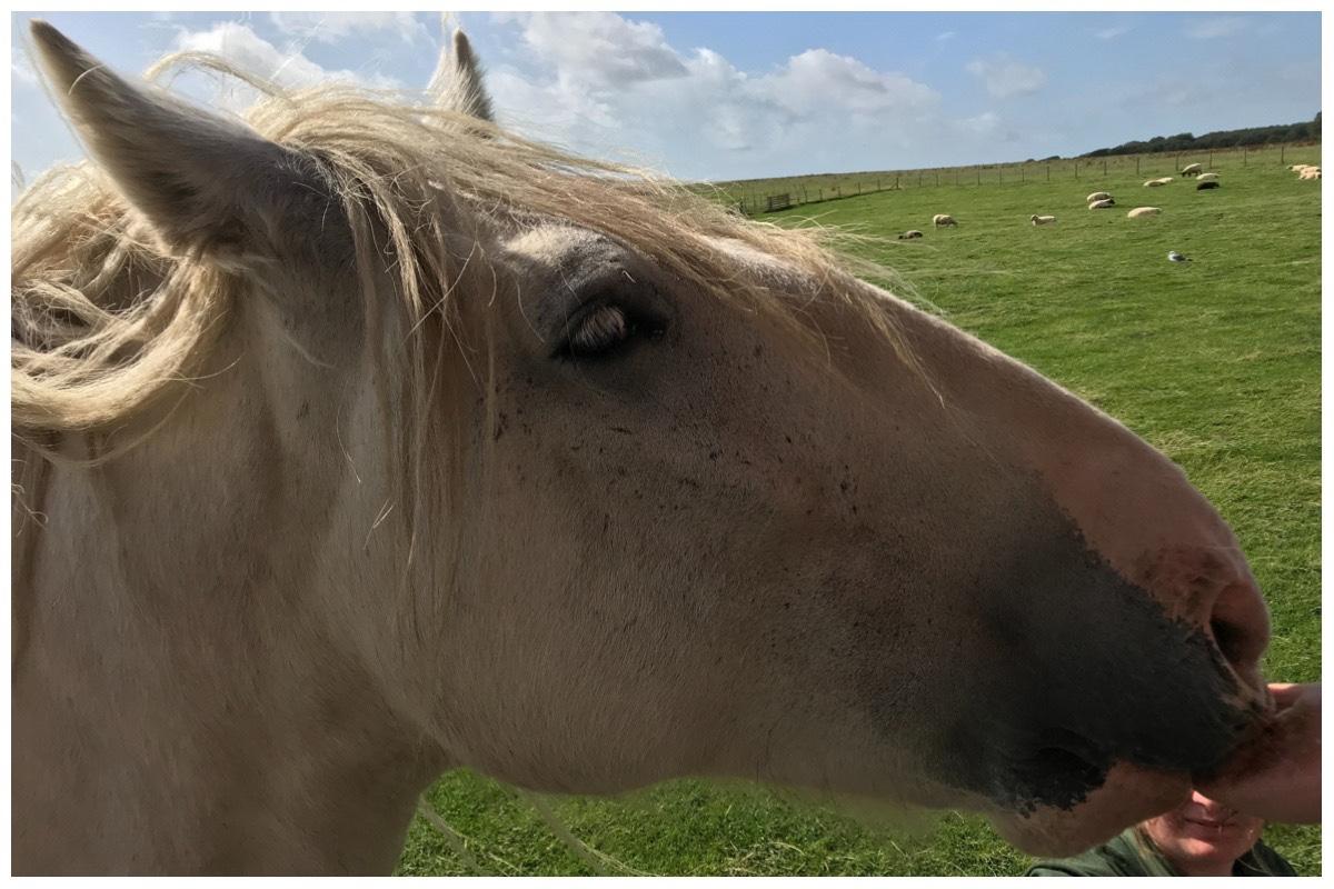White shire horse at Foel Farm Park