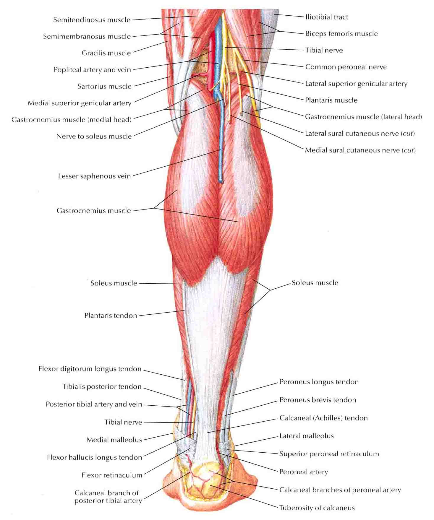 Muscles Of Leg Superficial Dissection Posterior View