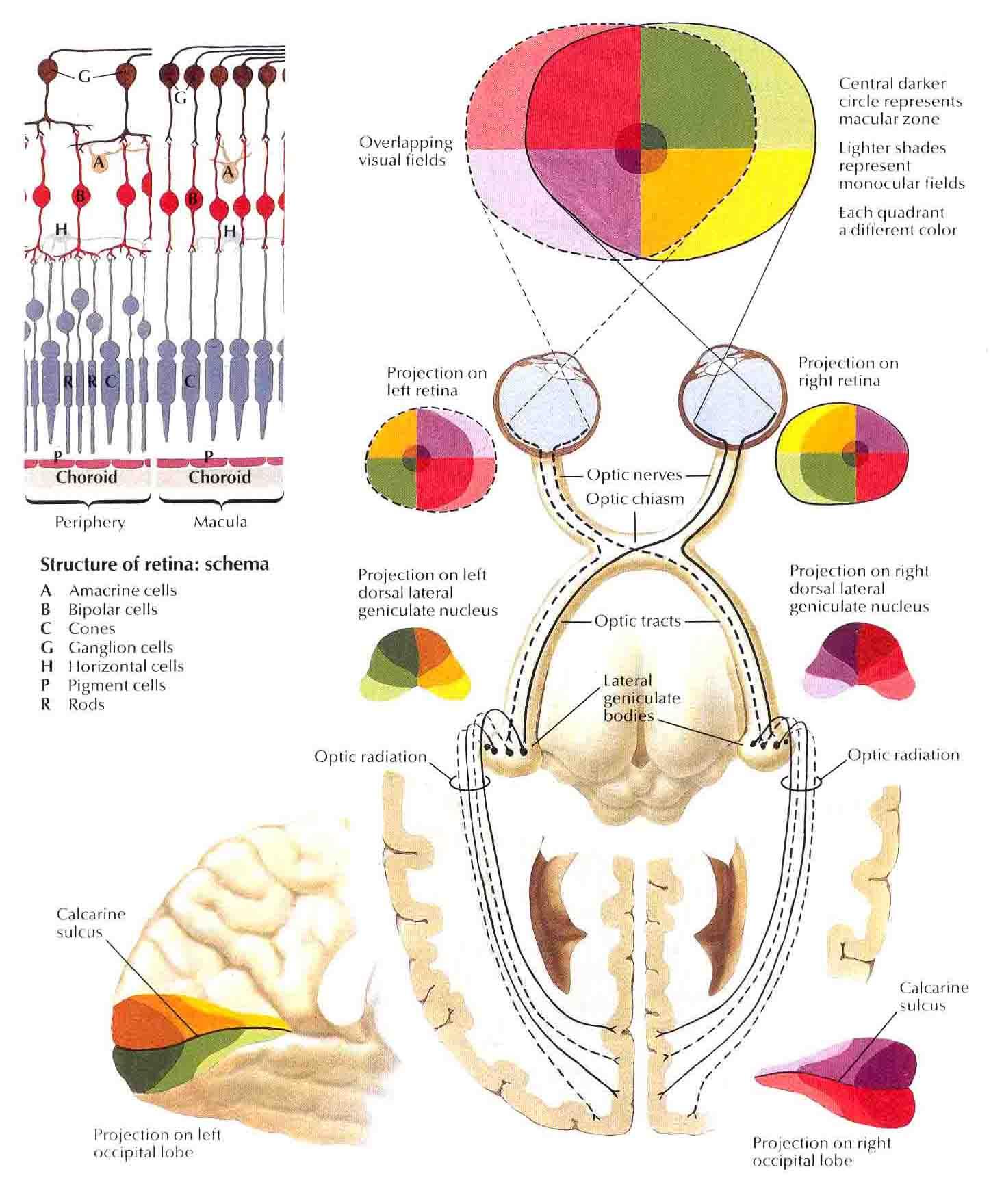 Optic Nerve Visual Pathway Schema