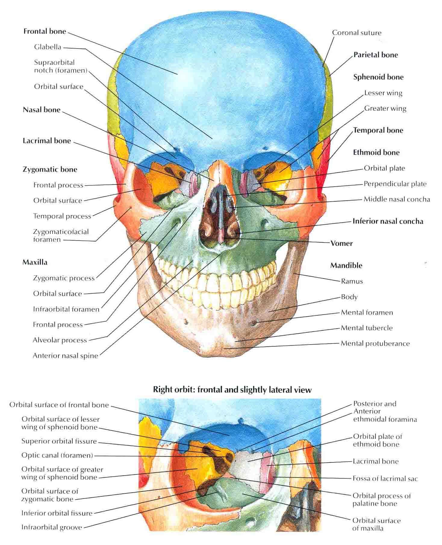 Pin Anterior View Of Skull