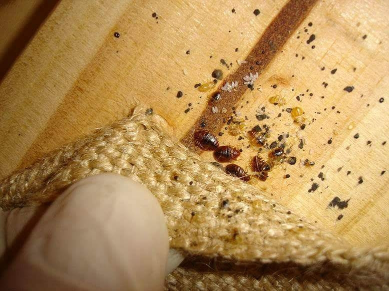 Bed bug nest with excrement, eggs, shed skins and all life cycles of bed bugs present.