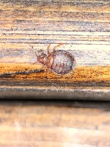 Adult female bed bug hiding on a headboard.