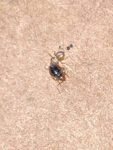 Teenage bed bug that just moulted out of it's outer shell. ​