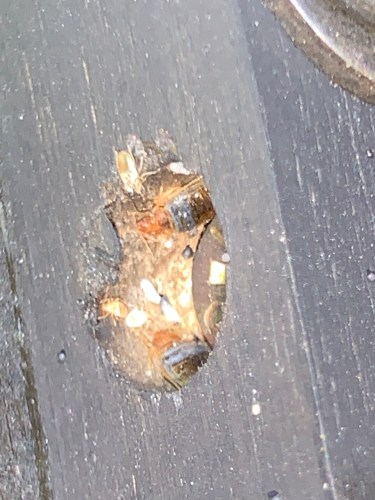 Bed bugs and eggs inside a screw hole on a bed frame. They don't just get on beds, they can be anywhere.