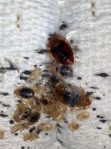 Bed bugs of every life stage starting to build up ontop of each other, eventually growing a mountain of eggs, poop, shed skins and beds bugs.