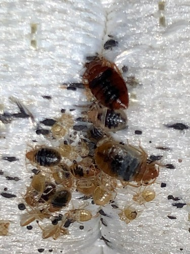 The dark color you see on these bed bugs is blood that is digesting inside of them. 