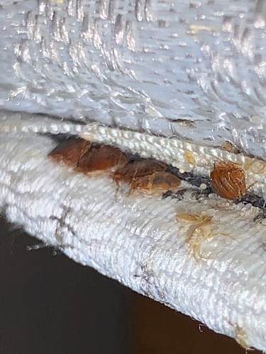 Bed bugs will remain most of their lives near the area where they hatched from their egg.​
