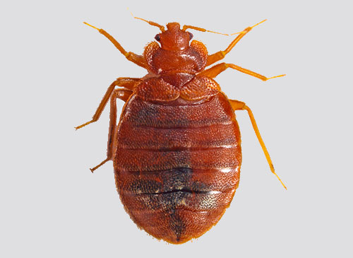 Bed Bugs Pictures