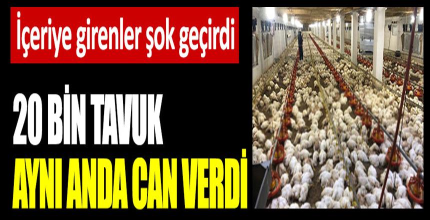 Zonguldak'ta 20 bin tavuk aynı anda can verdi. İçeriye girenler şok geçirdi