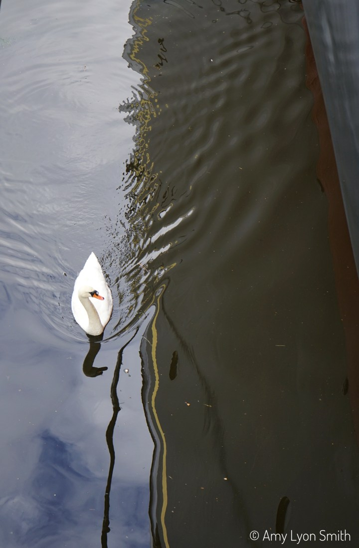 Swan in Leith, Scotland