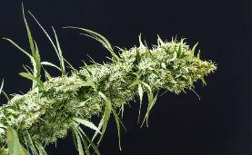 Cannabis varietà