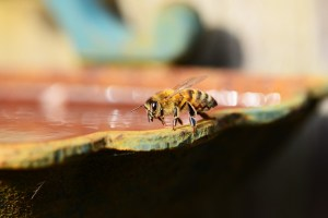honey, bee, water