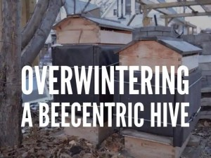 Overwintering a Beecentric Hive. Two Beecentric Hives are wrapped with rigid foam board and black tarpaper. Their quilt boxes re filled with dry wood shavings. Edmonton, Alberta, Canada.
