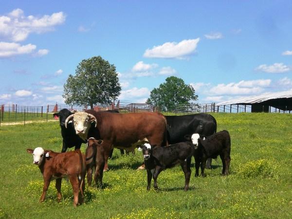 Traveling Bulls and Breeding Season