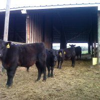 Why Castrate Cattle?