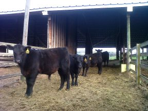 Cattle Castration Beef Quality Animal Welfare
