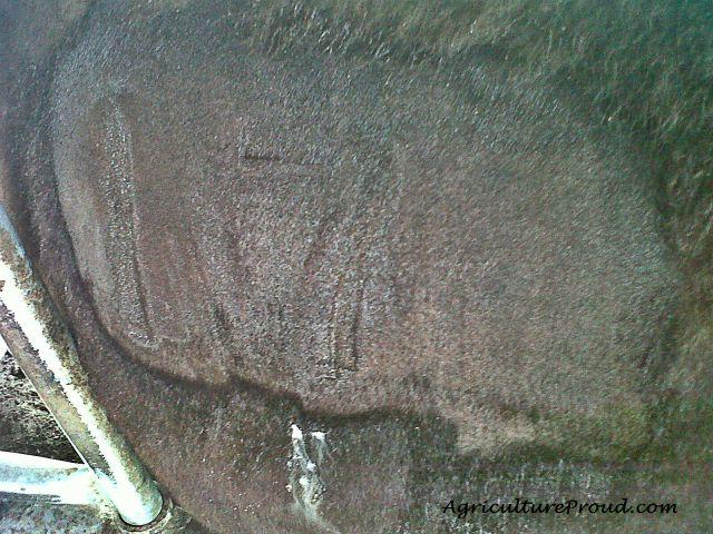 Fresh freeze brand on cattle