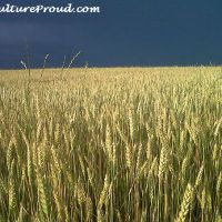 Wheat Fields Before and After Harvest