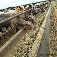 What do feedlot cattle eat? | Ask a Farmer